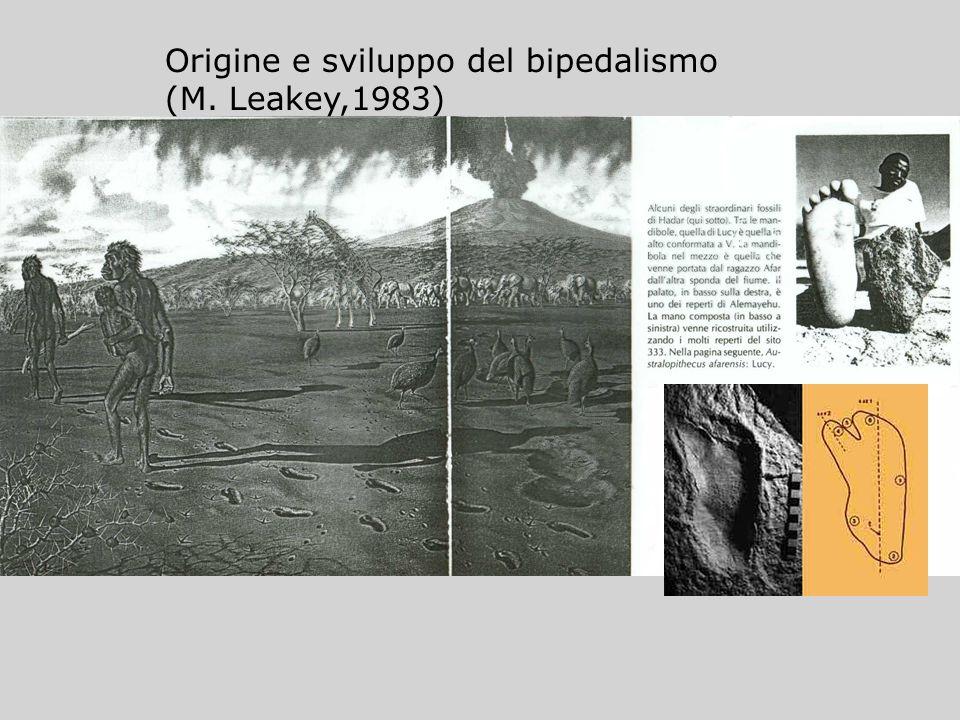 Origine e sviluppo del bipedalismo (M. Leakey,1983)