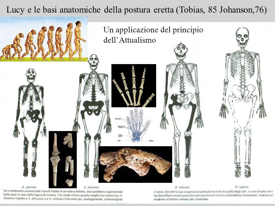 Lucy e le basi anatomiche della postura eretta (Tobias, 85 Johanson,76)