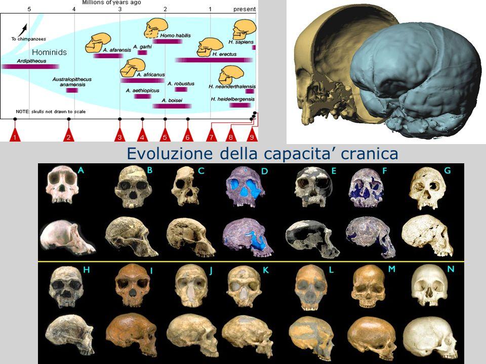 Evoluzione della capacita' cranica