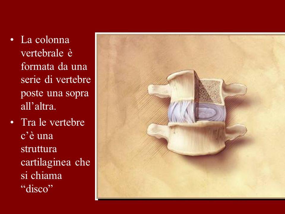 La colonna vertebrale è formata da una serie di vertebre poste una sopra all'altra.