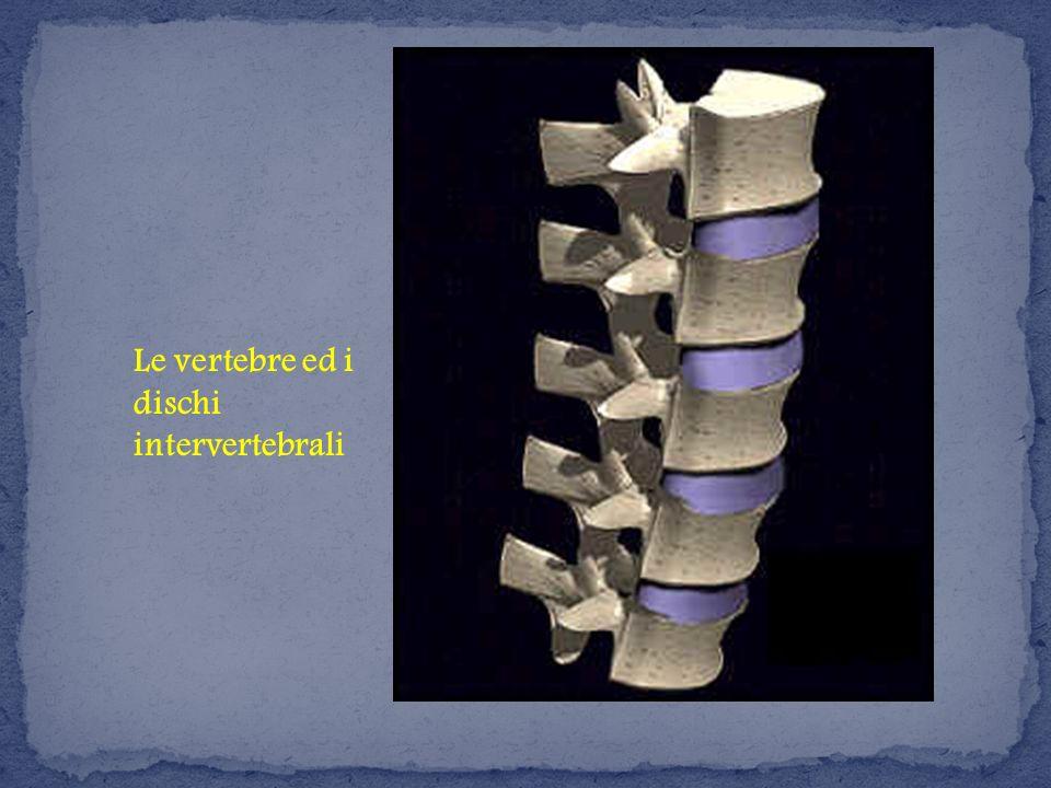 Le vertebre ed i dischi intervertebrali
