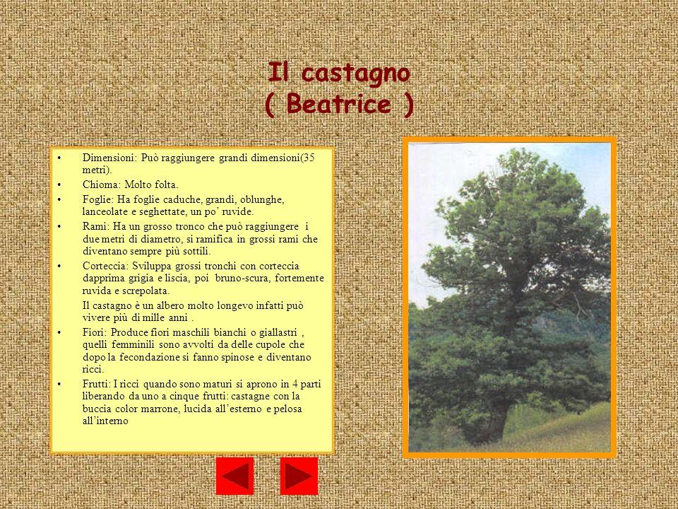 Il castagno ( Beatrice )