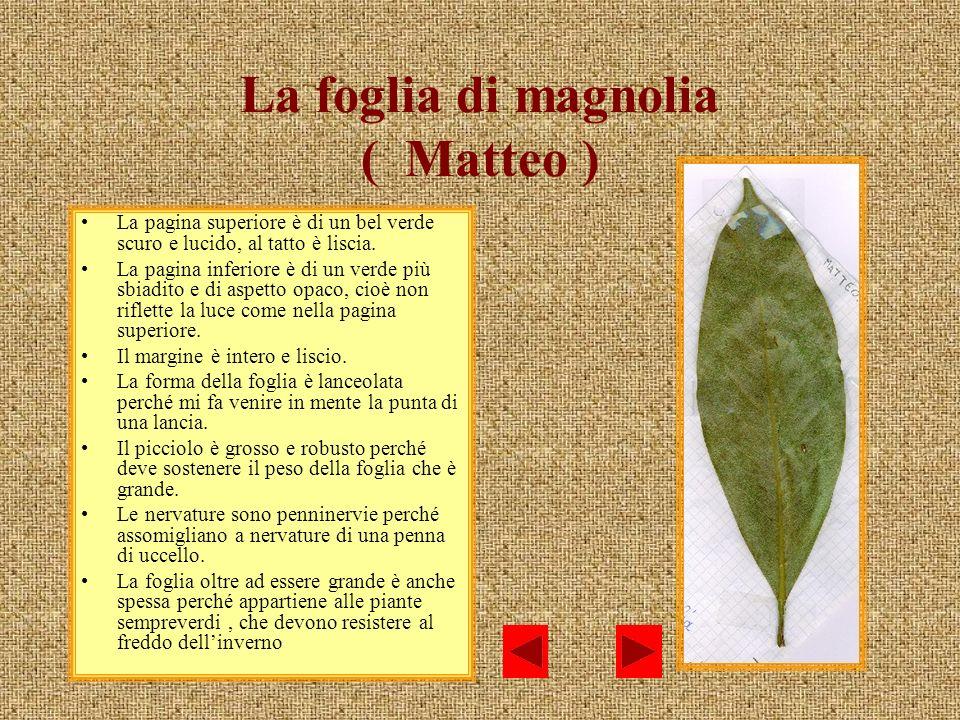 La foglia di magnolia ( Matteo )
