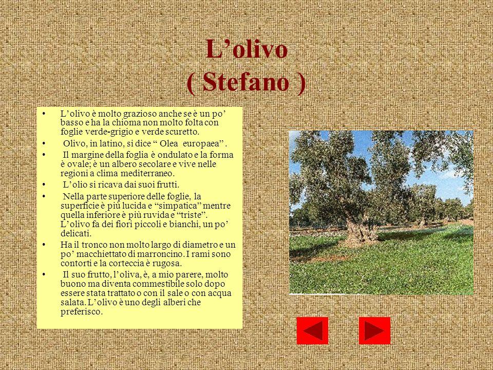 L'olivo ( Stefano ) L'olivo è molto grazioso anche se è un po' basso e ha la chioma non molto folta con foglie verde-grigio e verde scuretto.