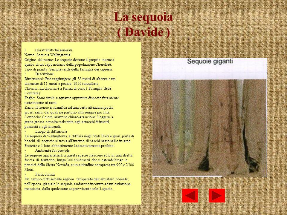 La sequoia ( Davide ) Caratteristiche generali
