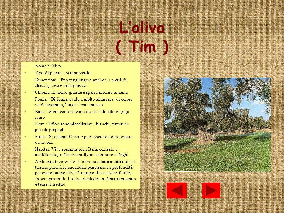 L'olivo ( Tim ) Nome : Olivo Tipo di pianta : Sempreverde