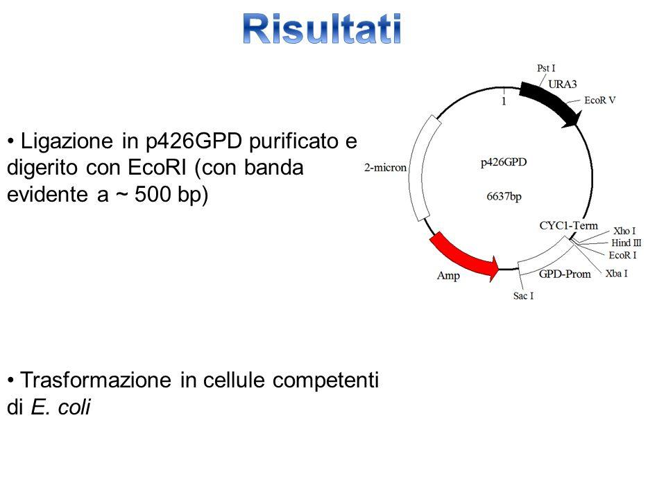 Risultati • Ligazione in p426GPD purificato e digerito con EcoRI (con banda evidente a ~ 500 bp) • Trasformazione in cellule competenti di E.