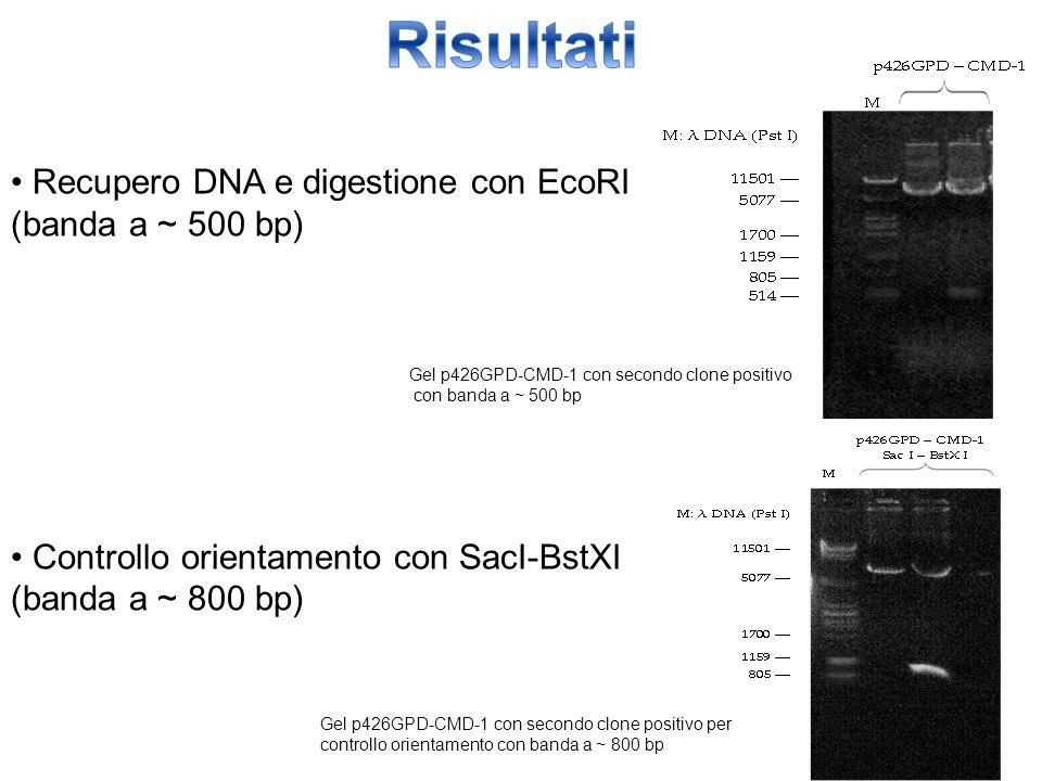 Risultati • Recupero DNA e digestione con EcoRI (banda a ~ 500 bp)