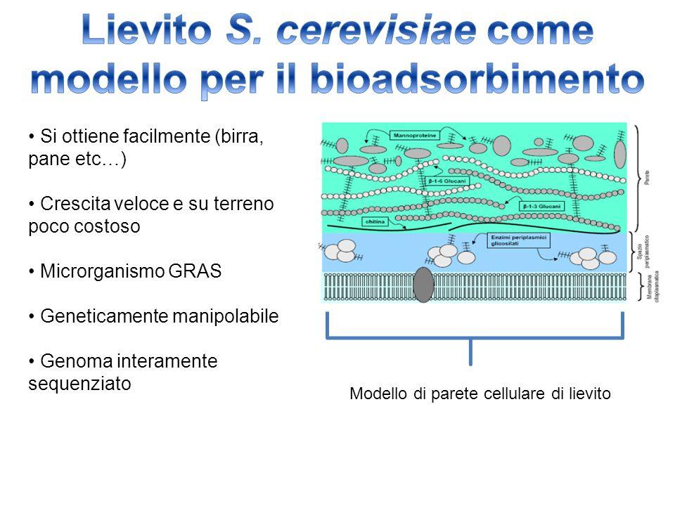 Lievito S. cerevisiae come modello per il bioadsorbimento