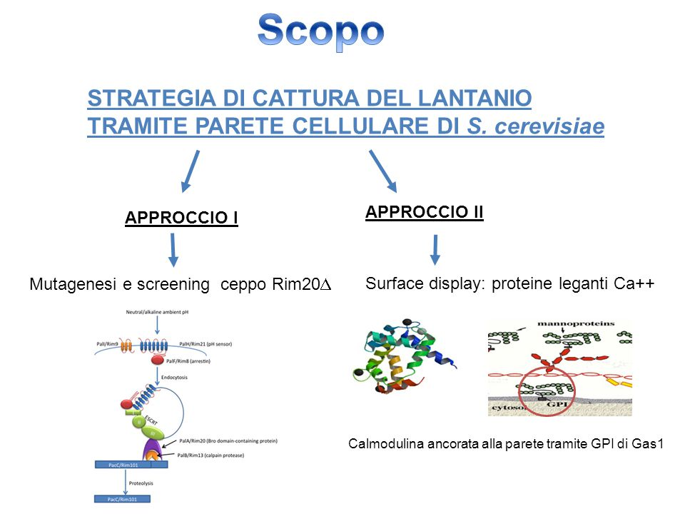 Scopo STRATEGIA DI CATTURA DEL LANTANIO TRAMITE PARETE CELLULARE DI S. cerevisiae. APPROCCIO II. APPROCCIO I.