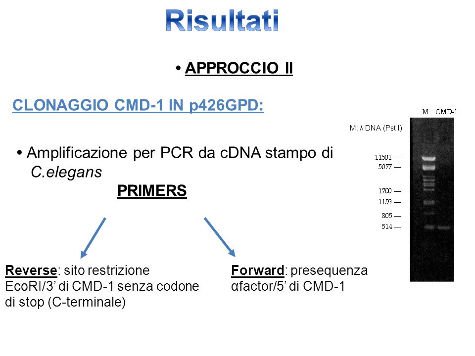 Risultati • APPROCCIO II CLONAGGIO CMD-1 IN p426GPD:
