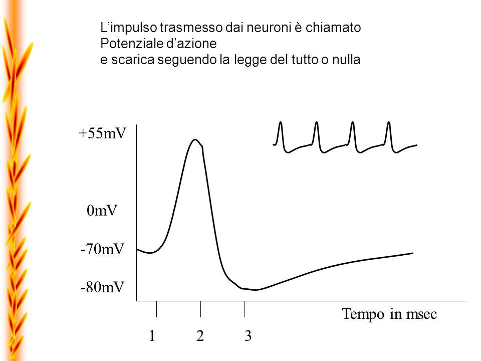 +55mV 0mV -70mV -80mV Tempo in msec 1 2 3