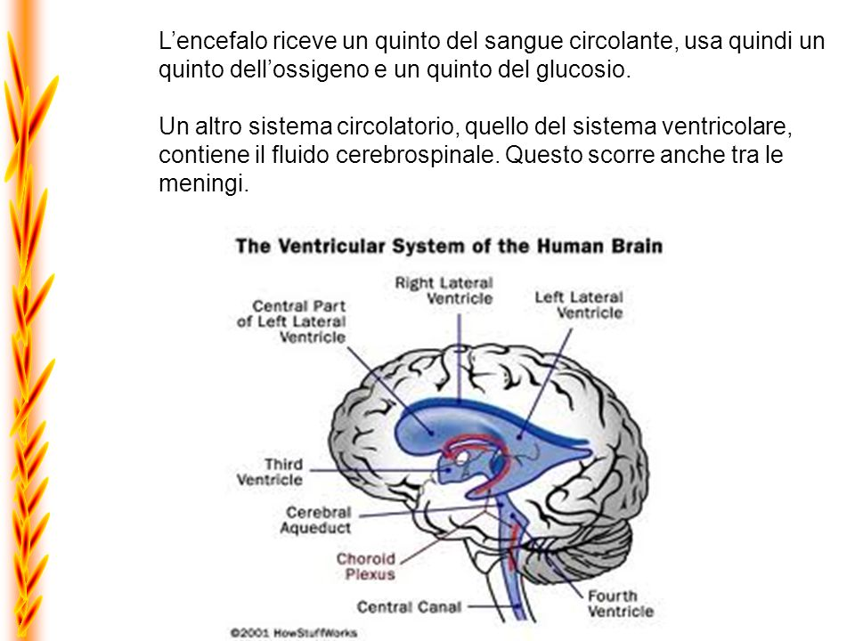 L'encefalo riceve un quinto del sangue circolante, usa quindi un quinto dell'ossigeno e un quinto del glucosio.