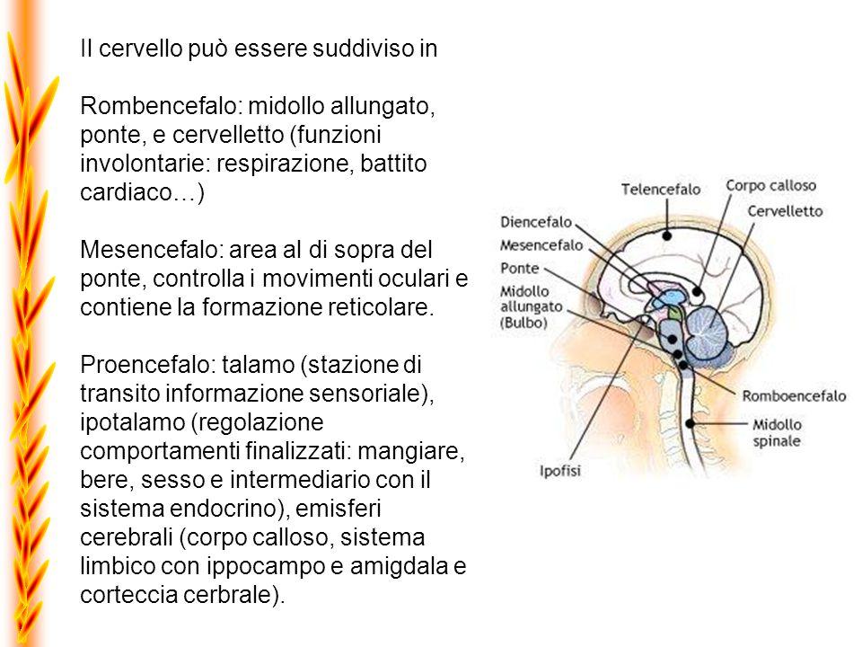 Il cervello può essere suddiviso in