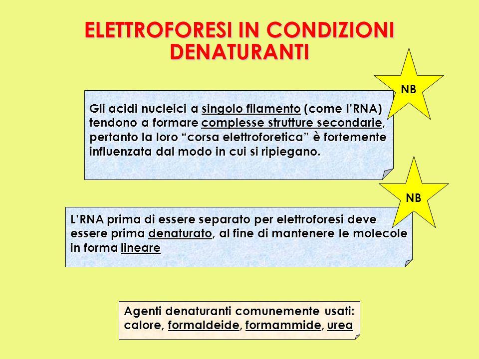 ELETTROFORESI IN CONDIZIONI DENATURANTI