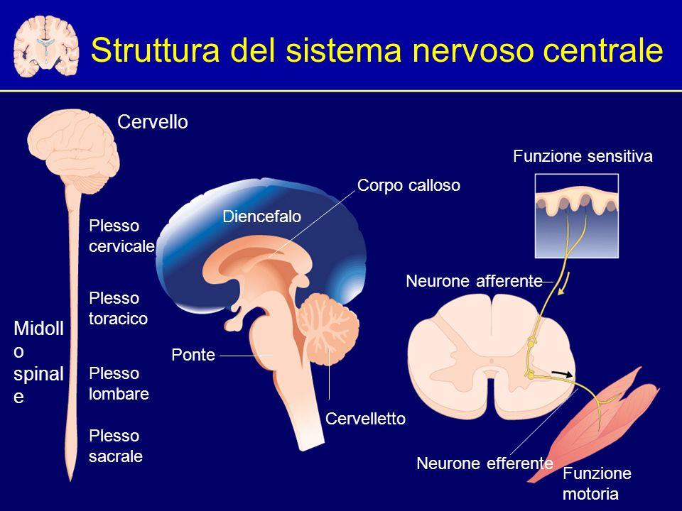 Struttura del sistema nervoso centrale