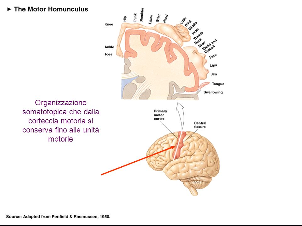 Organizzazione somatotopica che dalla corteccia motoria si conserva fino alle unità motorie