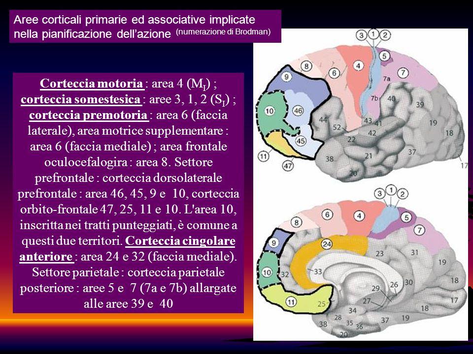 Aree corticali primarie ed associative implicate nella pianificazione dell'azione (numerazione di Brodman)