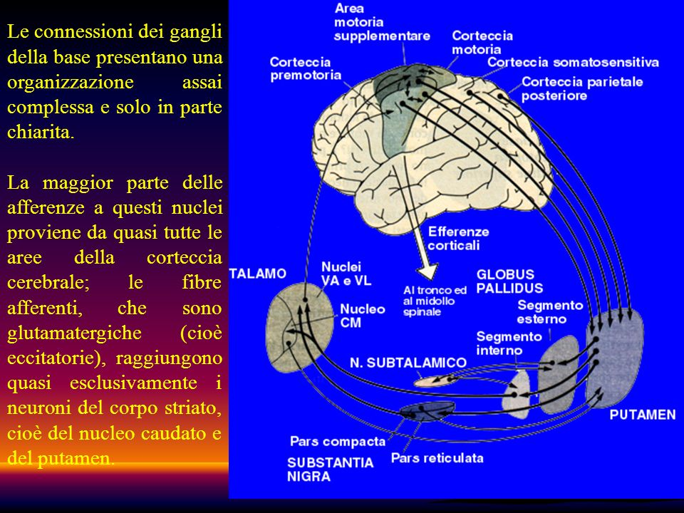 Le connessioni dei gangli della base presentano una organizzazione assai complessa e solo in parte chiarita.
