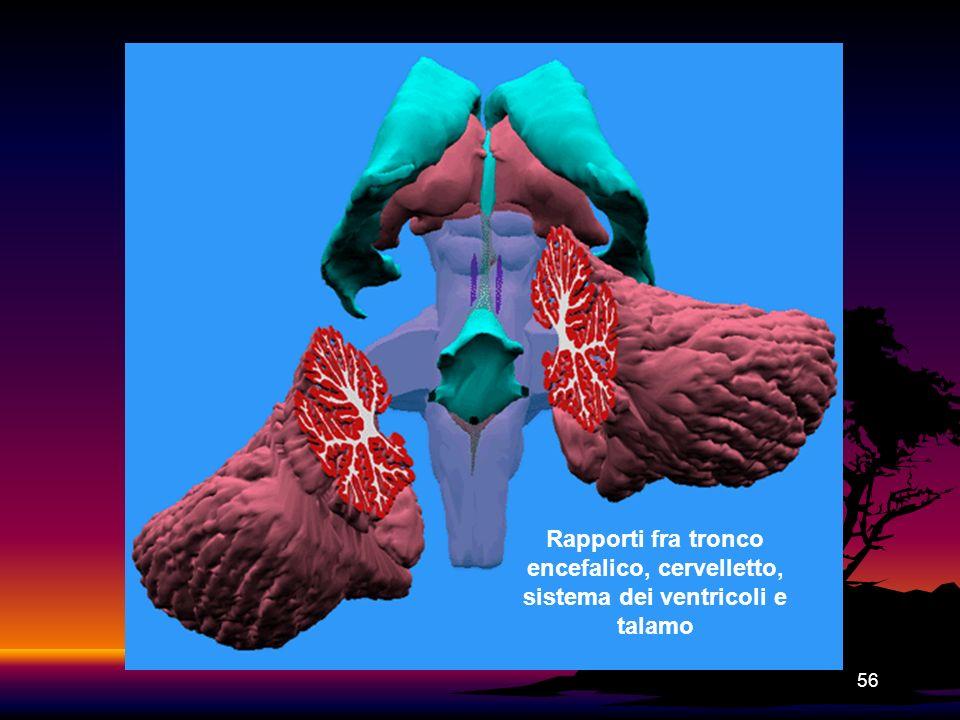 Rapporti fra tronco encefalico, cervelletto, sistema dei ventricoli e talamo
