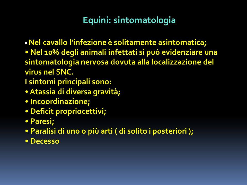 Equini: sintomatologia