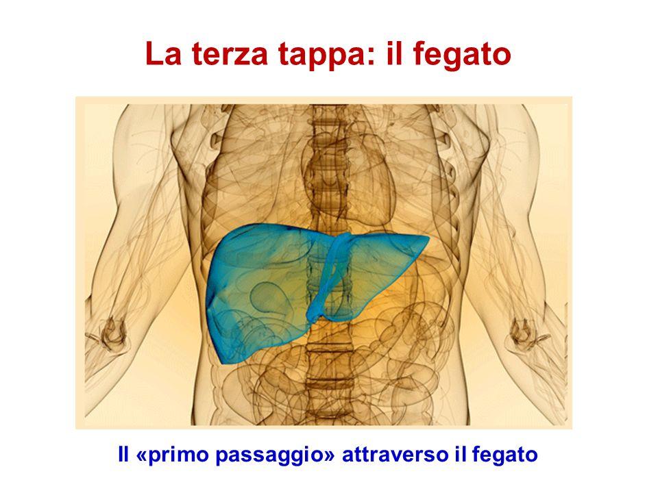 La terza tappa: il fegato Il «primo passaggio» attraverso il fegato