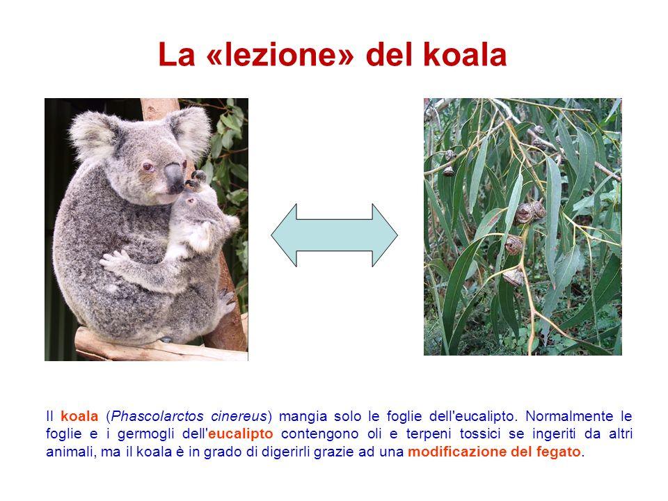 La «lezione» del koala