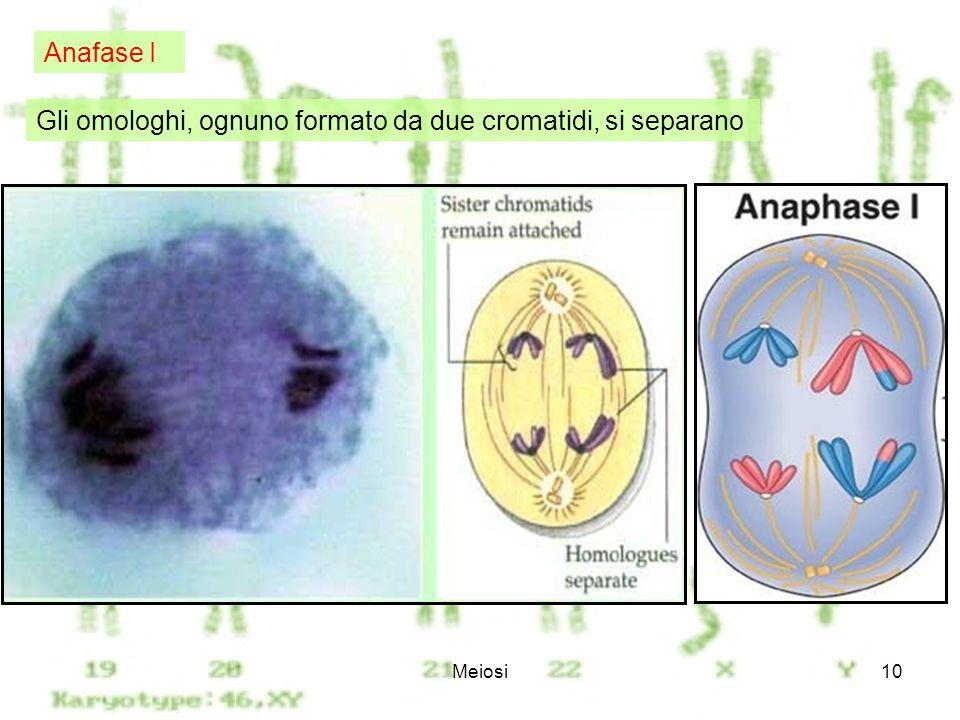 Gli omologhi, ognuno formato da due cromatidi, si separano