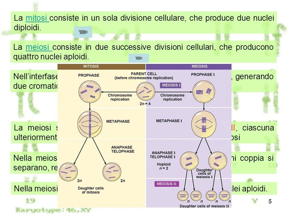 La mitosi consiste in un sola divisione cellulare, che produce due nuclei diploidi.