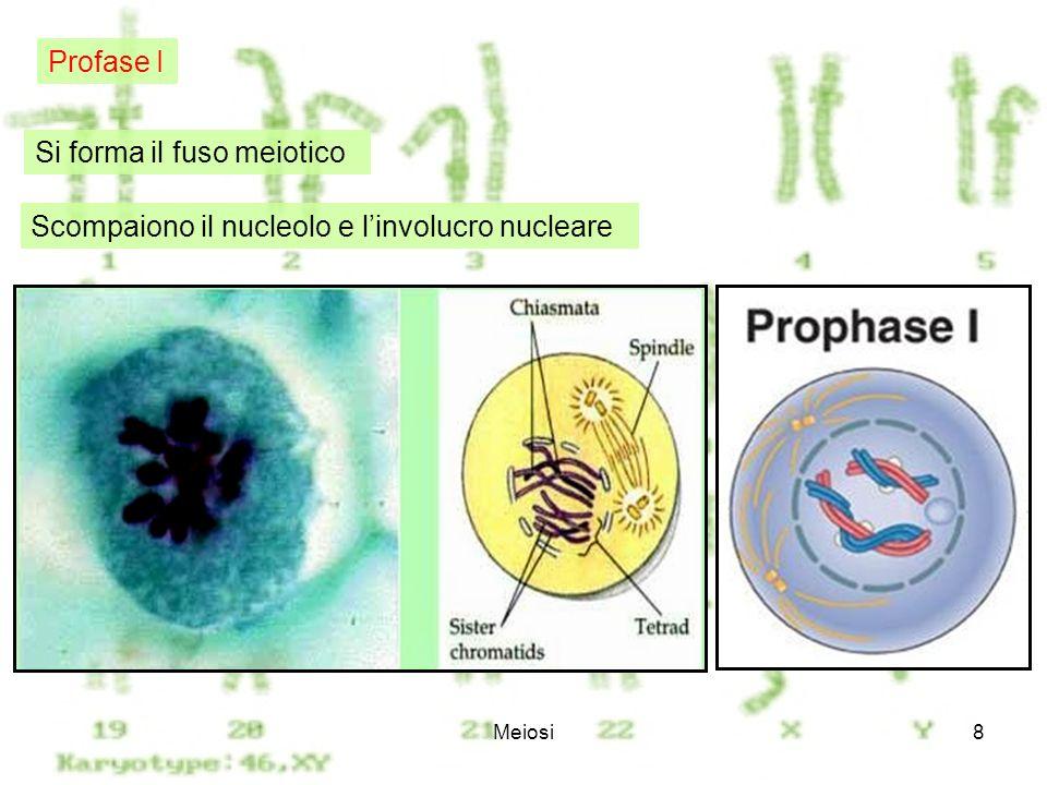 Si forma il fuso meiotico