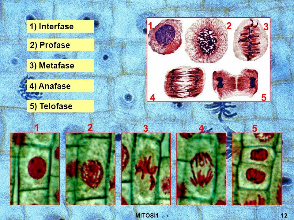 1 3 2 4 5 1) Interfase 2) Profase 3) Metafase 4) Anafase 5) Telofase