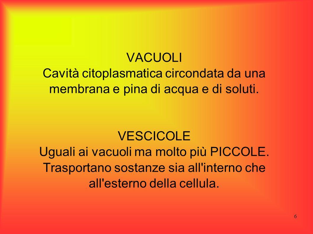 VACUOLI Cavità citoplasmatica circondata da una membrana e pina di acqua e di soluti. VESCICOLE.