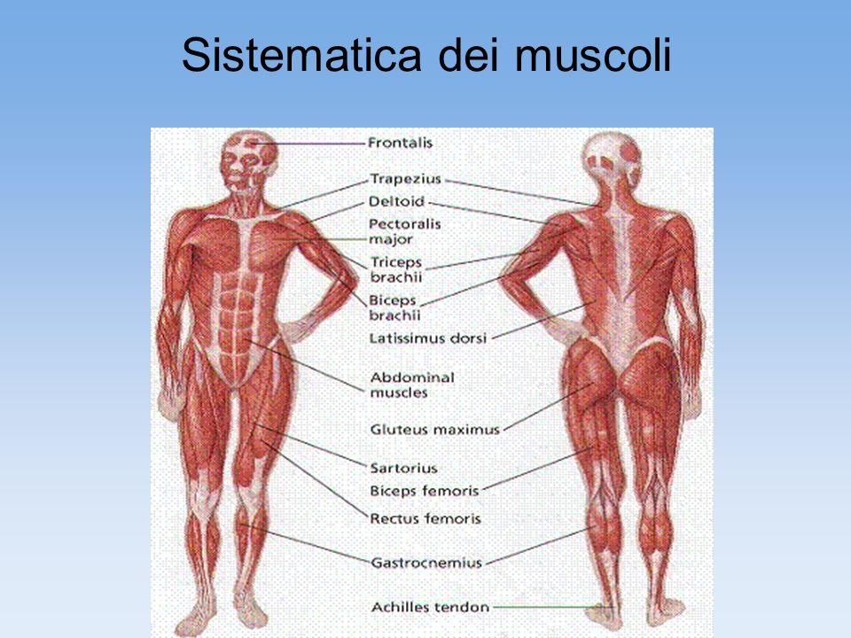 Sistematica dei muscoli