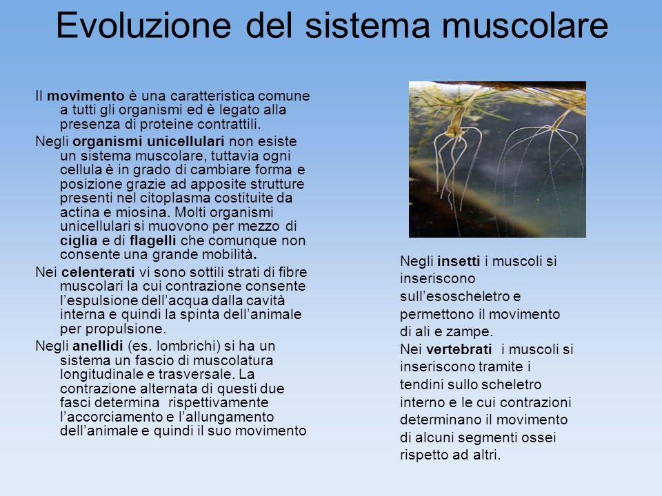Evoluzione del sistema muscolare