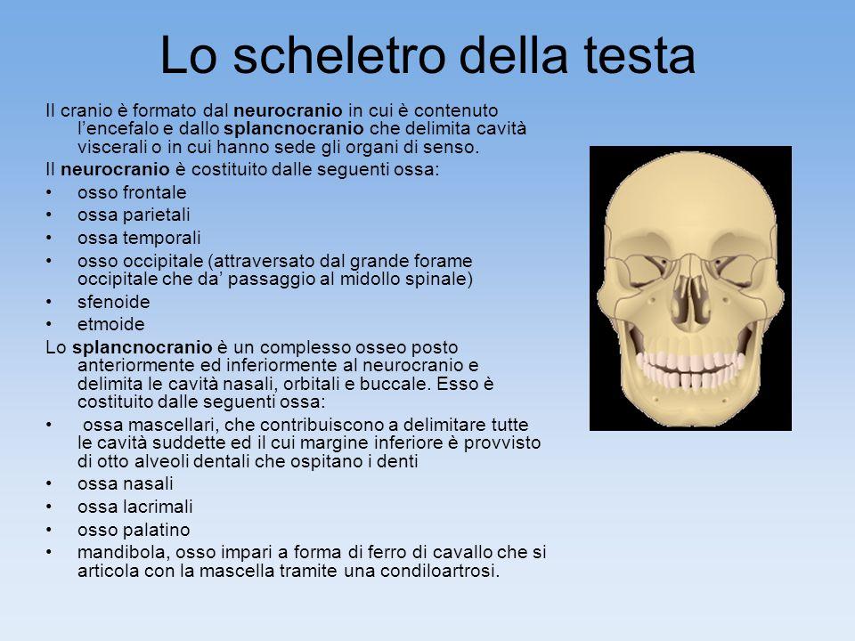 Lo scheletro della testa