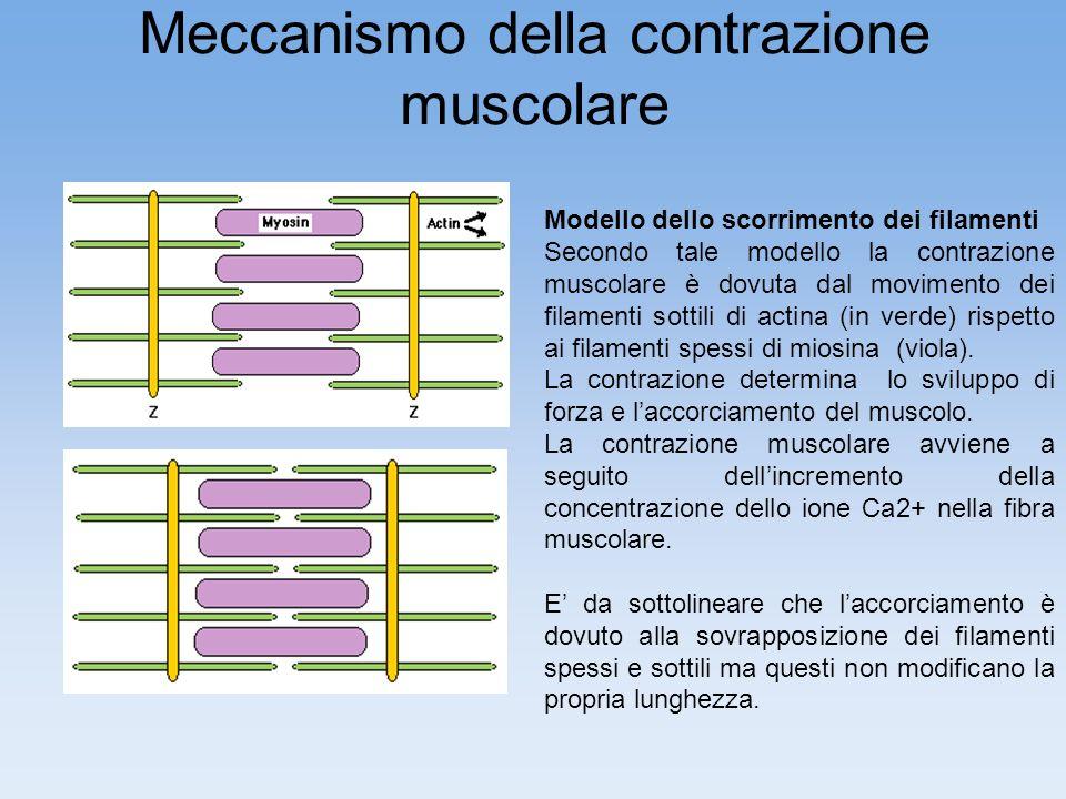 Meccanismo della contrazione muscolare