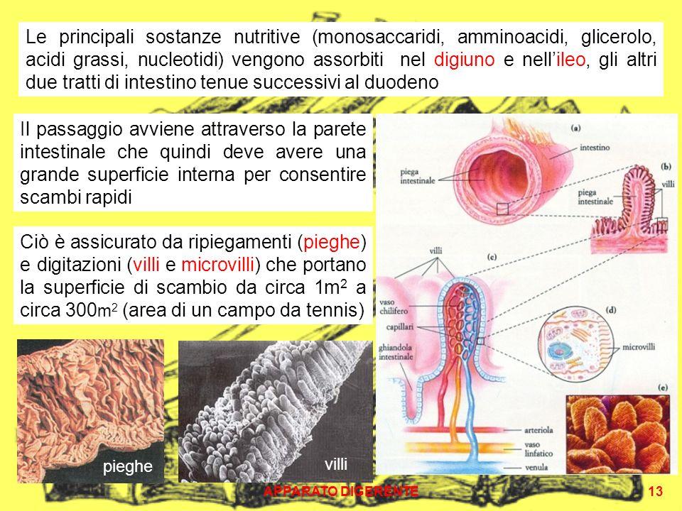 Le principali sostanze nutritive (monosaccaridi, amminoacidi, glicerolo, acidi grassi, nucleotidi) vengono assorbiti nel digiuno e nell'ileo, gli altri due tratti di intestino tenue successivi al duodeno