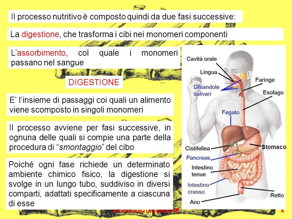 Il processo nutritivo è composto quindi da due fasi successive: