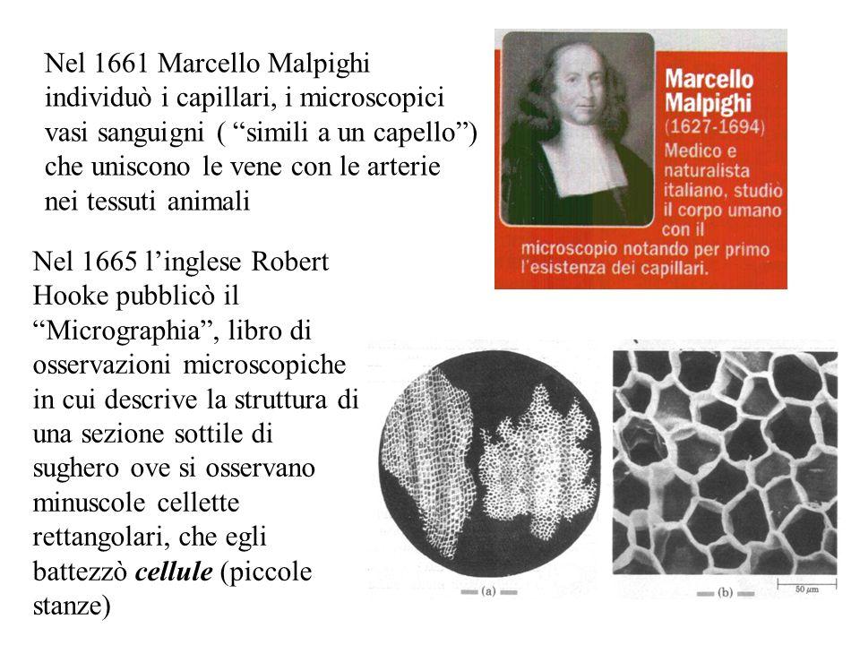 Nel 1661 Marcello Malpighi individuò i capillari, i microscopici vasi sanguigni ( simili a un capello ) che uniscono le vene con le arterie nei tessuti animali