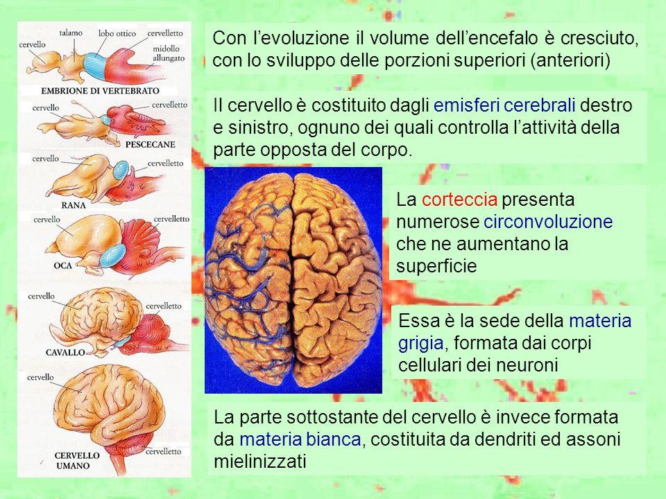 Con l'evoluzione il volume dell'encefalo è cresciuto, con lo sviluppo delle porzioni superiori (anteriori)