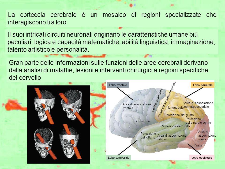 La corteccia cerebrale è un mosaico di regioni specializzate che interagiscono tra loro