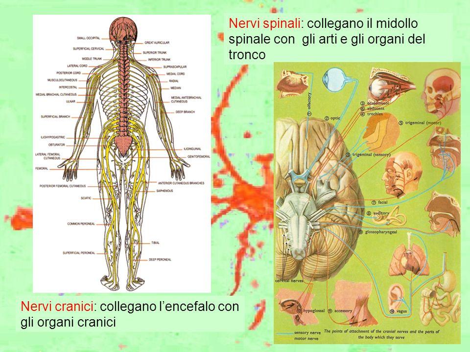 Nervi spinali: collegano il midollo spinale con gli arti e gli organi del tronco