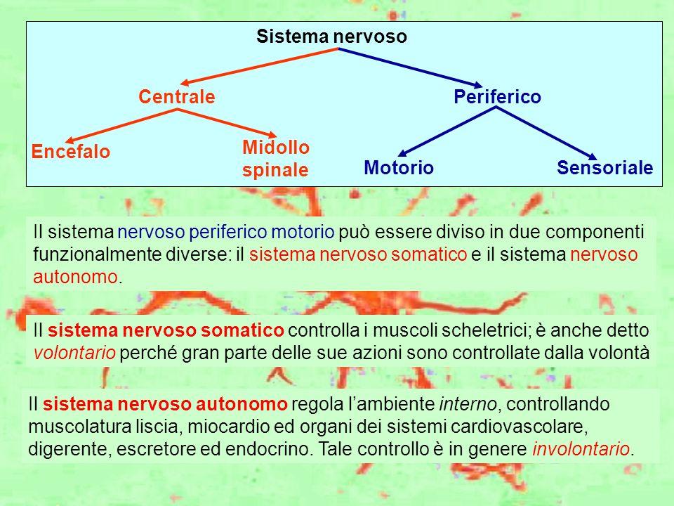 Sistema nervoso Centrale. Periferico. Encefalo. Midollo. spinale. Motorio. Sensoriale.