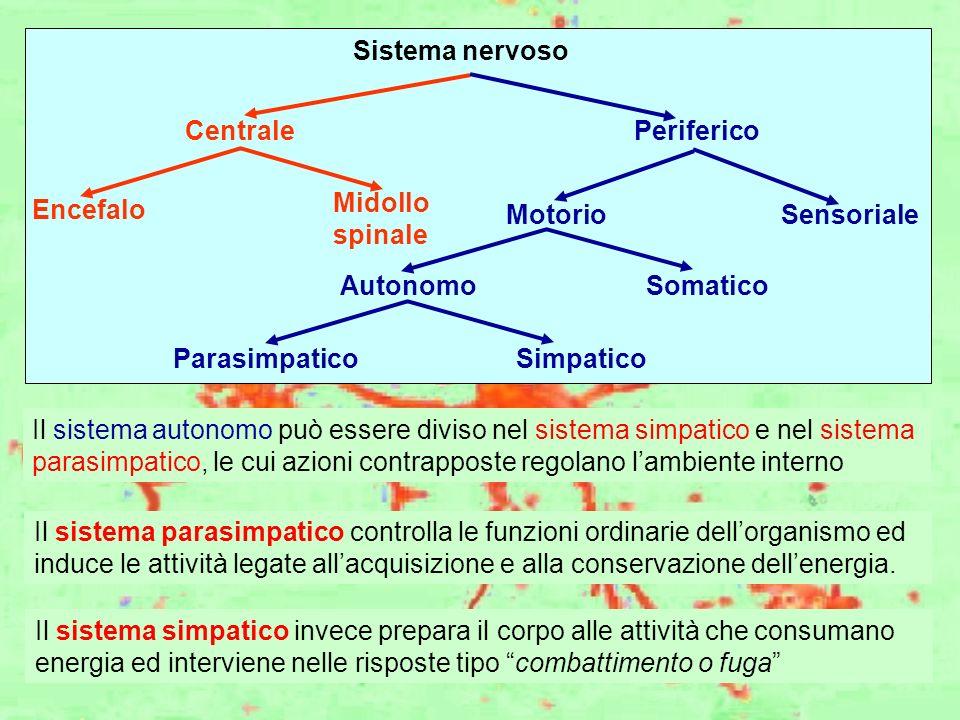 Sistema nervoso Centrale. Periferico. Encefalo. Midollo. spinale. Motorio. Sensoriale. Somatico.