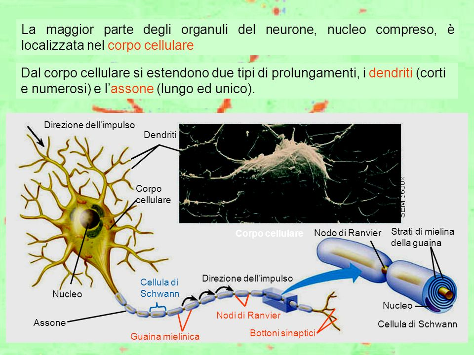 La maggior parte degli organuli del neurone, nucleo compreso, è localizzata nel corpo cellulare