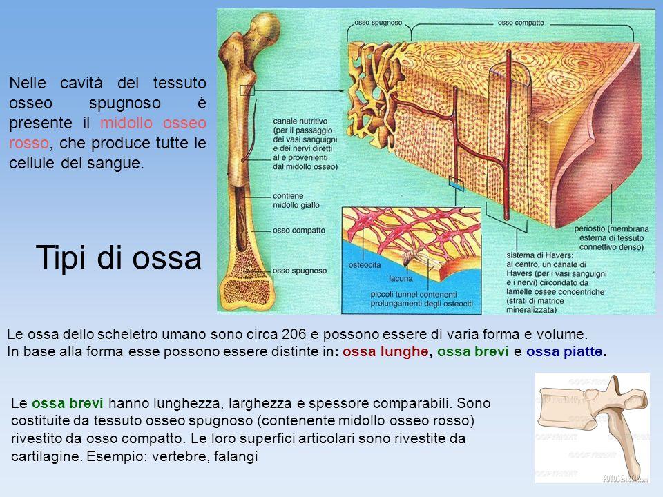 Nelle cavità del tessuto osseo spugnoso è presente il midollo osseo rosso, che produce tutte le cellule del sangue.