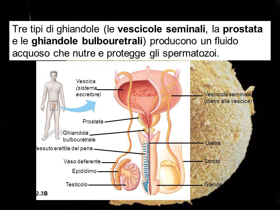 Tre tipi di ghiandole (le vescicole seminali, la prostata e le ghiandole bulbouretrali) producono un fluido acquoso che nutre e protegge gli spermatozoi.