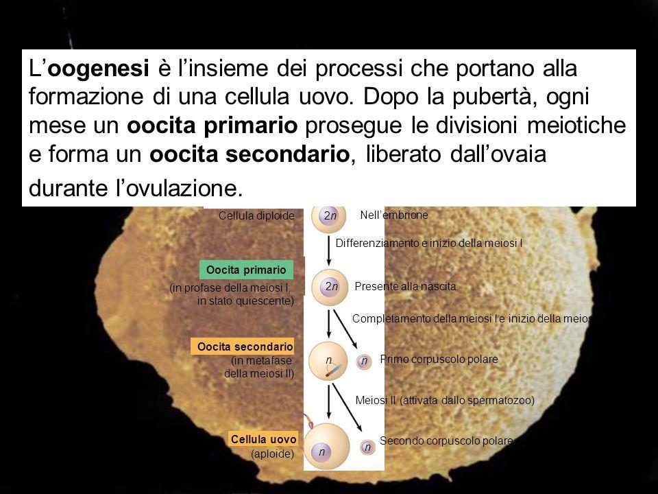 L'oogenesi è l'insieme dei processi che portano alla formazione di una cellula uovo. Dopo la pubertà, ogni mese un oocita primario prosegue le divisioni meiotiche e forma un oocita secondario, liberato dall'ovaia durante l'ovulazione.