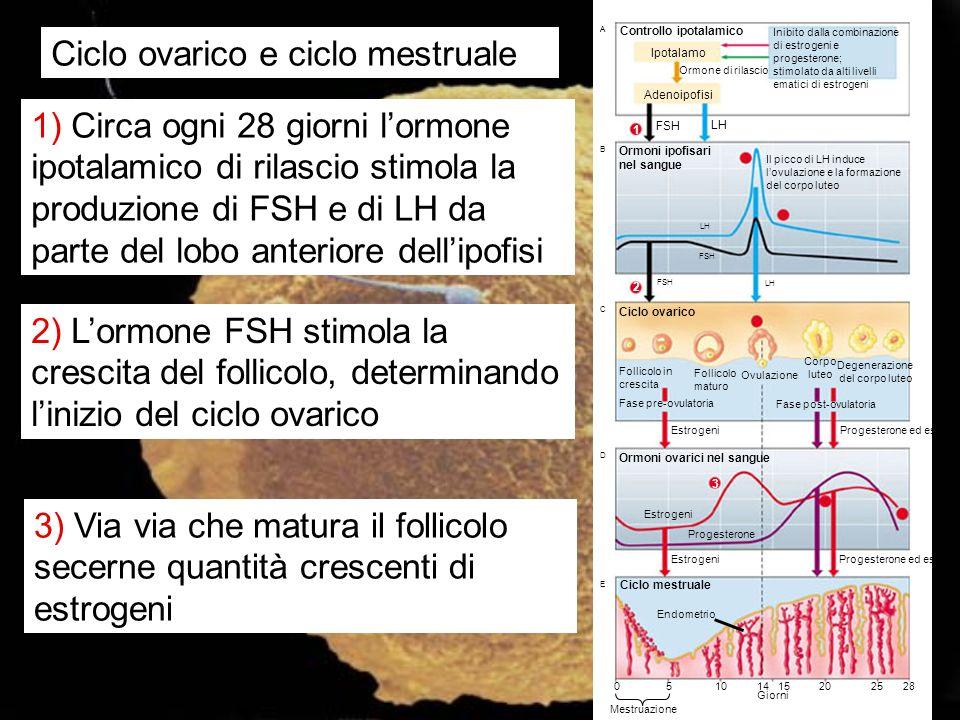 Ciclo ovarico e ciclo mestruale