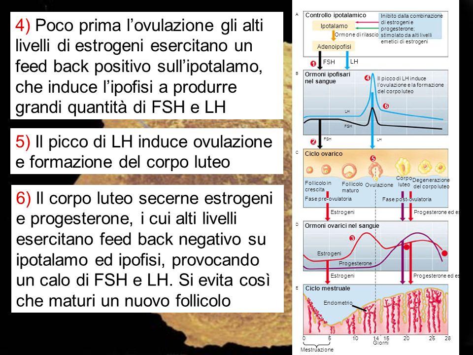 5) Il picco di LH induce ovulazione e formazione del corpo luteo